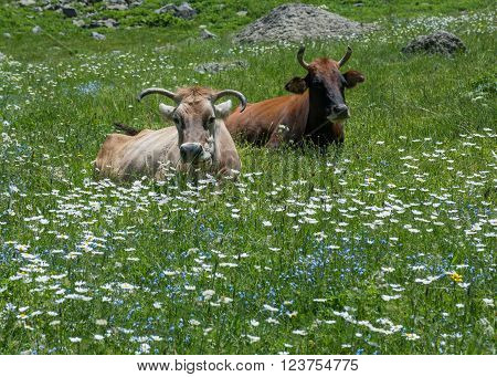 Two different cows are resting and ruminating on blossom meadow. There are many white daisies and forget-me-nots on meadow.