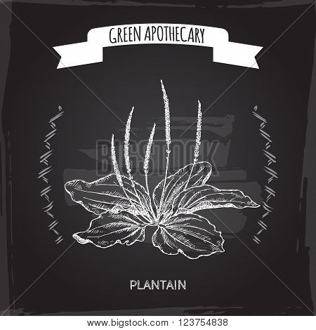 Plantago major aka broadleaf plantain or fleawort sketch on blackboard background. Green apothecary series. Great for traditional medicine, gardening or cooking design.