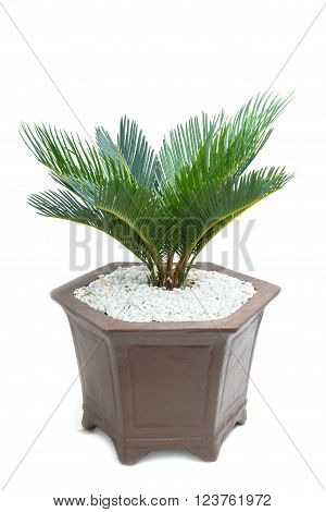cycad plam tree plant on white background