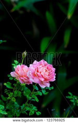 Pink English shrub rose variety