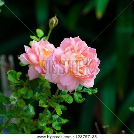 beautiful pink English shrub rose variety