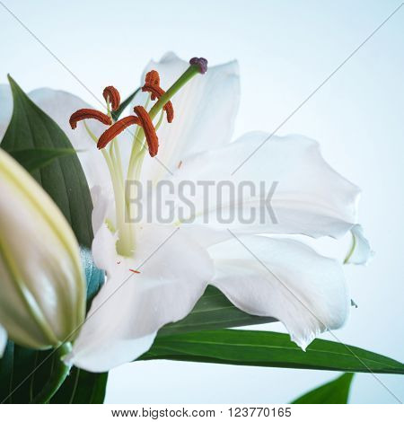 white lily flower on a blue background