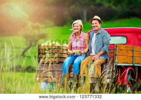 Senior couple sitting in back of vintage red pickup truck, after harvesting apples