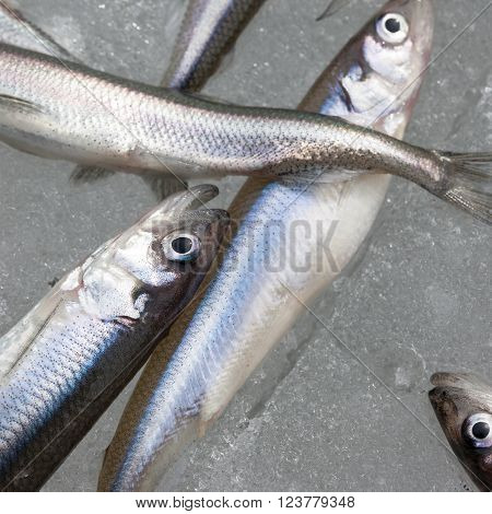 fresh smelt fish on ice close up