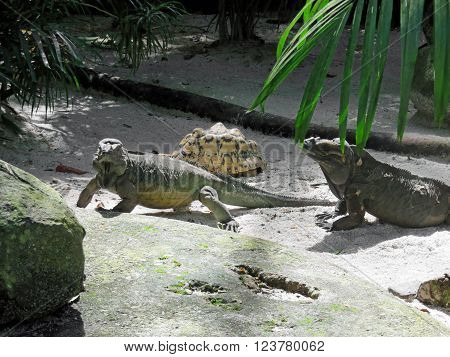 Rhinoceros Iguana Lizard Species Found on the Caribbean Island