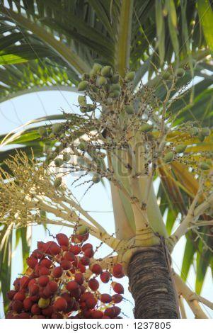 Christmas Palm And Seeds