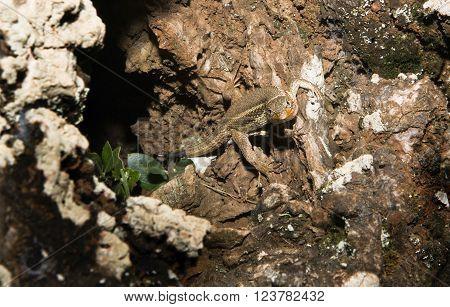 Iberian Wall Lizard in its cave a small wall lizard species of the genus Podarcis found in the Iberian peninsula