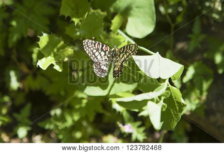 Yellow butterfly on green leaves Alor Mountain Range Extremadura Spain