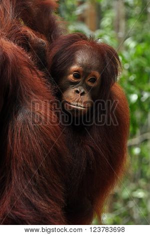 Young orangutang holding on to its mother back. Orangutangs stay with their mothers for up to 8 years. Photographed in Tanjung Puting National Park in Indonesian Borneo (Kalimantan).