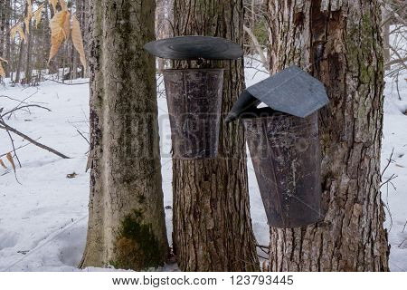 maple syrup buckets collecting sap from trees