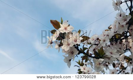 Blooming cherry tree with blue sky in the background ** Note: Visible grain at 100%, best at smaller sizes