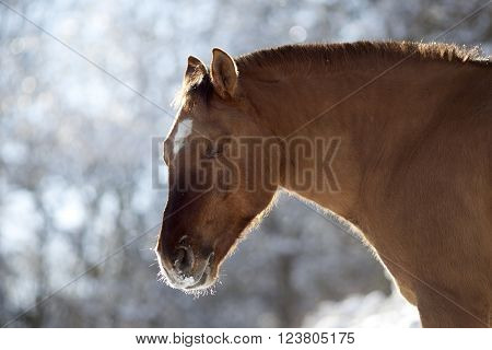 criollo horse dun color in winter outside