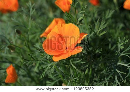 California poppies (Eschscholzia californica) in bloom in a summer time