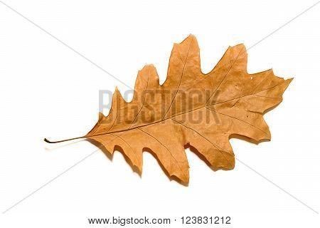 Dry autumn oak leaf on a over white