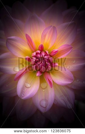 Closeup of a beautiful dahlia fower in pink pastel tones