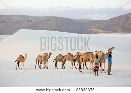 SOCOTRA ISLAND, YEMEN FEBRUARY 15, 2016: unidentified cameleers (camel drivers) in the white sand dunes near Steroh village