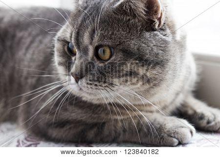 a british cat grey color pet whiskas