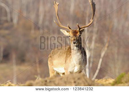 beautiful majestic fallow deer stag ( Dama dama )