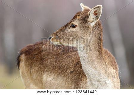 fallow deer calf close-up ( Dama dama )