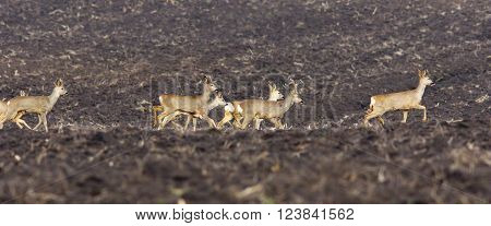 herd of roe deer on plowed land ( Capreolus capreolus )