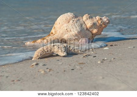 Sea shell on the bank of the Gulf of Mexico Florida USA