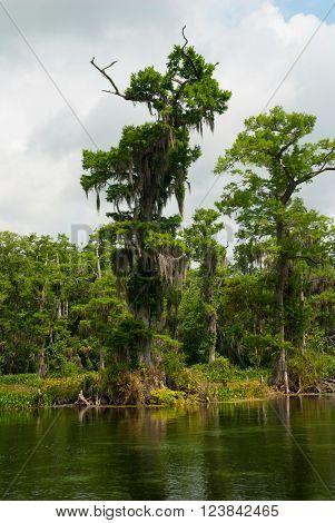 Swamp cypress tree with hanging spanish moss Wakulla Springs Florida USA