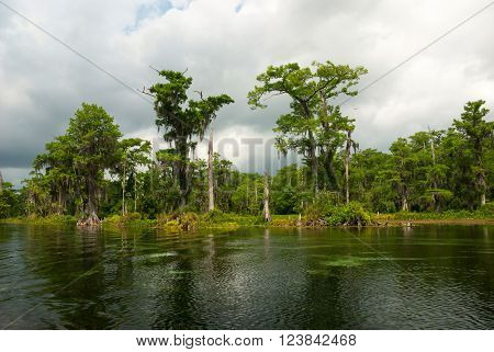 Spanish moss hanging from a Cypress tree creates an fantastic atmosphere in Wakulla Springs Florida USA