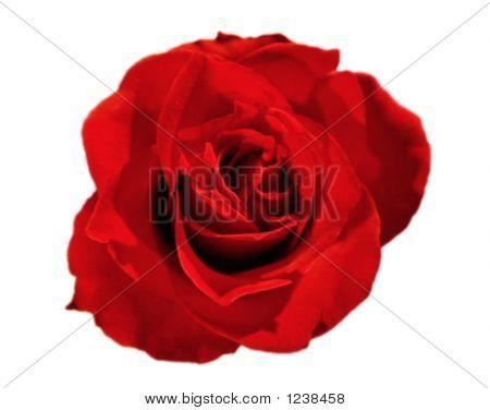 Rose Red 01
