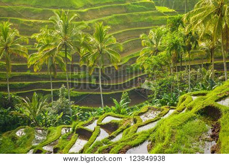 Beautiful rice terraces in the moring light near Tegallalang village Ubud Bali Indonesia.