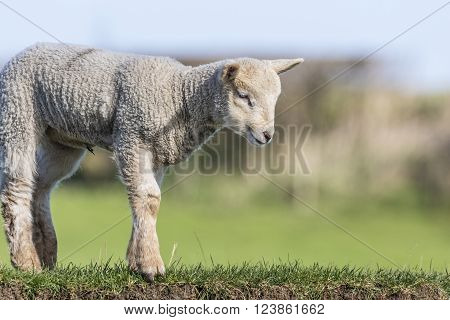Close up of a young lamb looking down a river bank