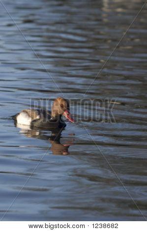 Pochard On Water
