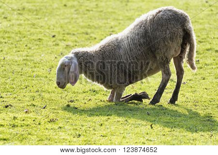 Monza (Brianza Lombardy Italy): sheep on its knees at pasture in the farm into the Monza Park ** Note: Visible grain at 100%, best at smaller sizes