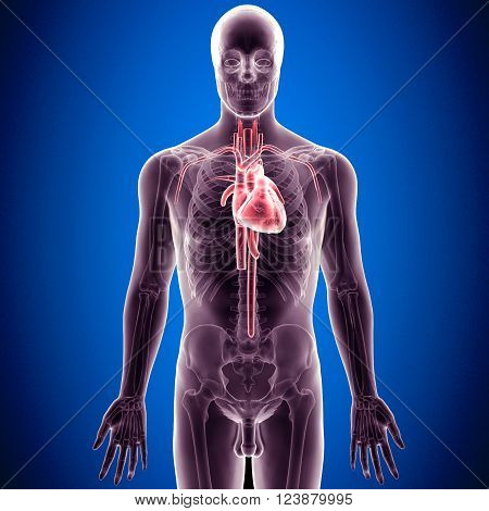 The heart is a muscular organ in humans and other animals, which pumps blood through the blood vessels of the circulatory system.[1] Blood provides the body with oxygen and nutrients, and also assists in the removal of metabolic wastes. The heart is locat