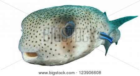 Porcupinefish isolated white background