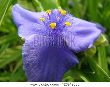 Tradescantia virginiana is a perennial garden plant