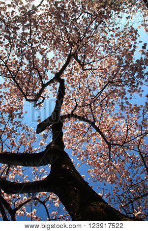 Branch of a blooming cherry tree against a blue sky