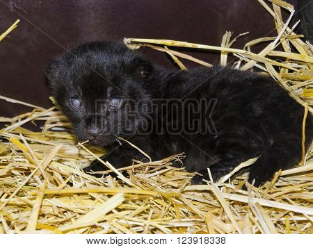 Very young black jaguar (Panthera onca) baby