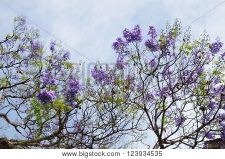 Blooming with purple flowers Jacaranda tree branches against blue-white sky