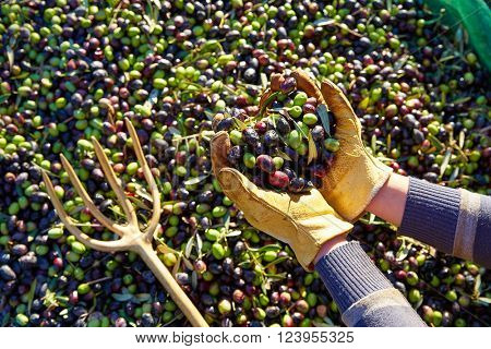 Olives harvest picking hands with gloves at Mediterranean
