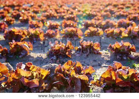 Red oak leaf letuce field in a row in Mediterranean area