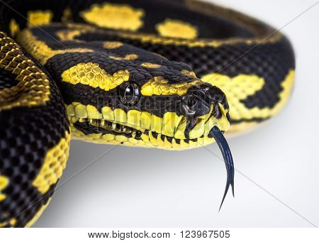 A close up of a jungle carpet python (Morelia spilota cheynei) on a white background.