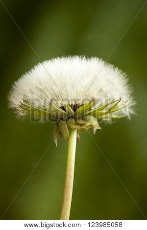 blossom dandelion clock (Taraxacum officinale) on blurred background