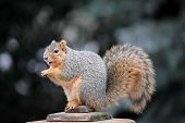 fat cute squirrel eating a nut on deck post. poster