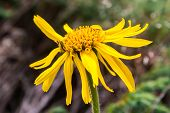 Close up of Arnica Montana flower in the dolomites poster