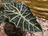 Big leaf of alocasia amazonica also known as: horse face poster