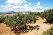 Olive groves with mountains to the rear near Periana Costa del Sol Malaga Province Andalusia Spain Western Europe. poster