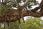 leopard in a tree in kruger park south africa poster