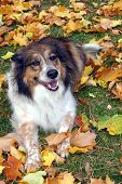friendly dog having fun in the fall leaves poster