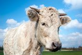 Portrait of a cream-colored cow with horns staring in the meadow on a sunny day in the summer season. poster