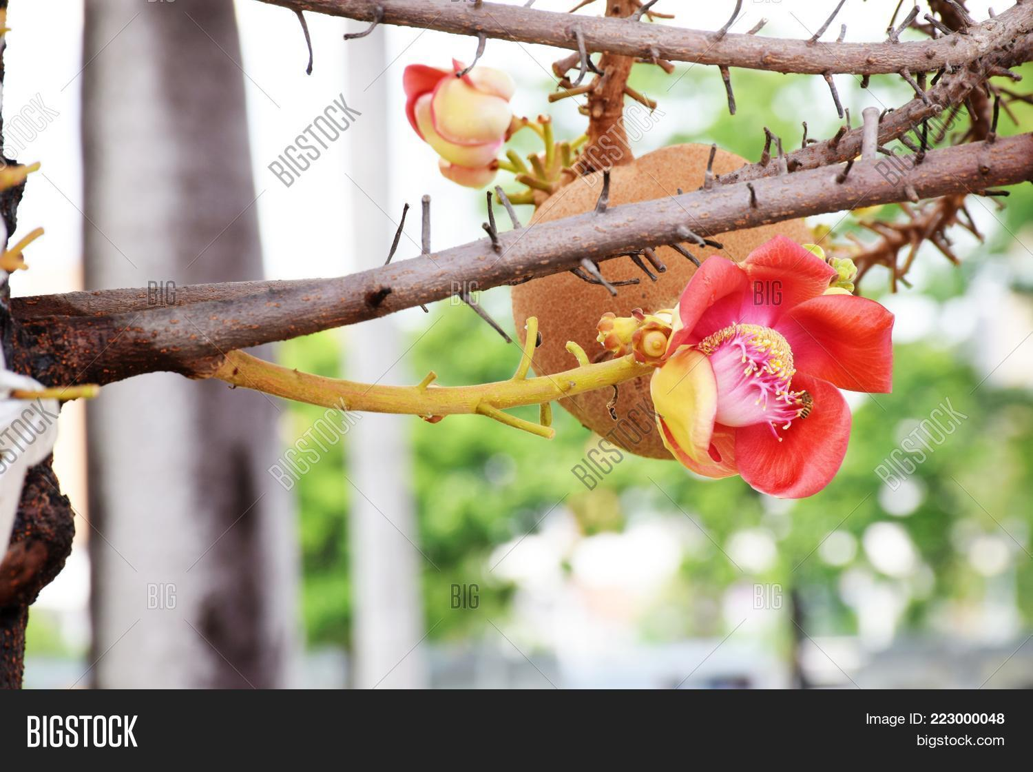 Beautiful pink sal image photo free trial bigstock beautiful pink sal flowers cannonball tree sal tree sal of india cannonball flower couroupita izmirmasajfo